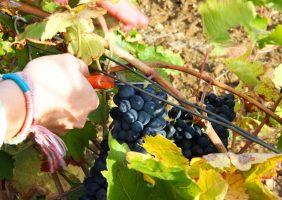 Sécateur et raisins